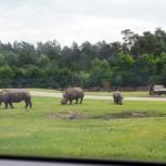 Serengeti Park Rhinos