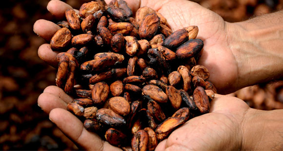 Hands holding a pile of roasted cocoa beans